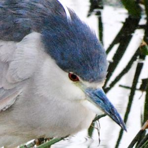 black crowned night heron closeup