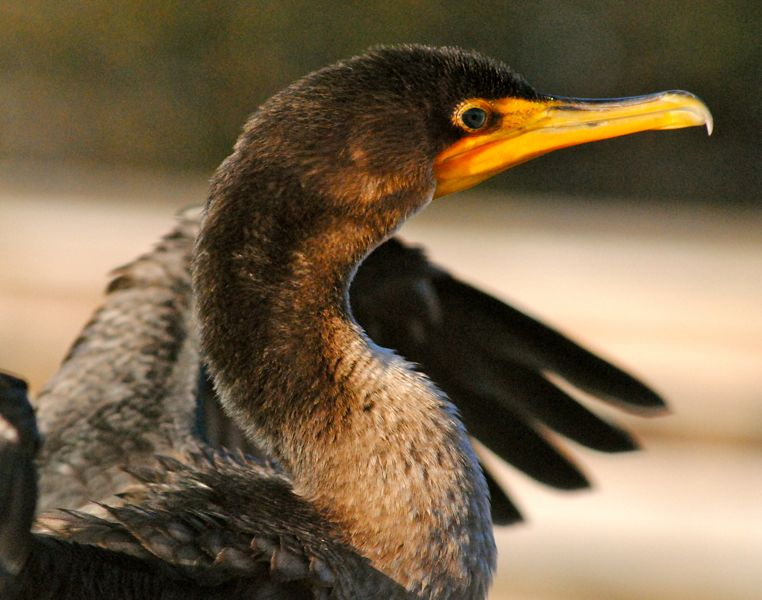 closeup of cormorant