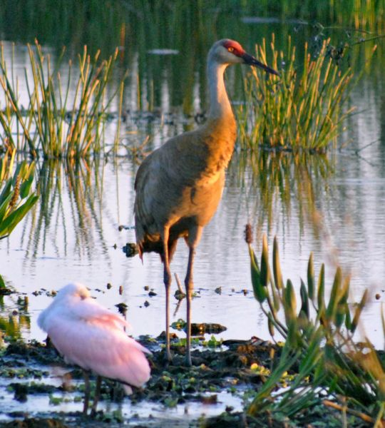 sandhill crane in wetlands