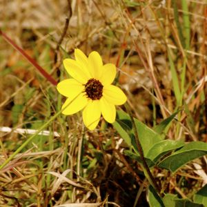 east coast dune sunflower