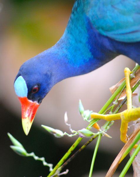 purple gallinule close up