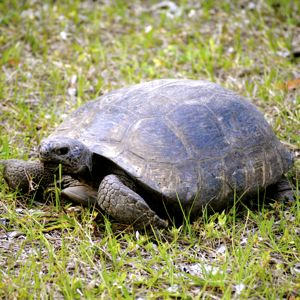 gopher tortoise 300