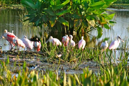 roseate spoonbills at green cay