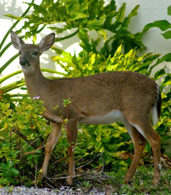 key deer female
