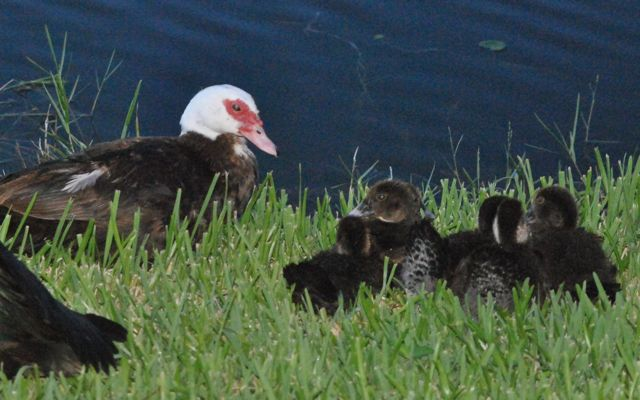 muscovy duck family