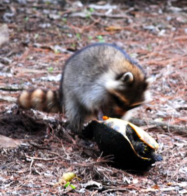 raccoon with turtle