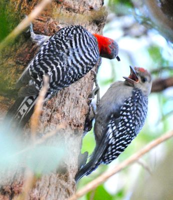red-bellied woodpecker feeding immature