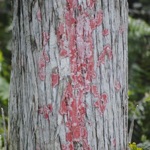 red blanket lichen