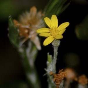 narrowleaf slikgrass flower