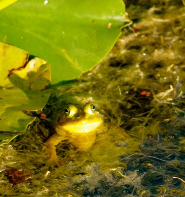 frog amid spatterdock