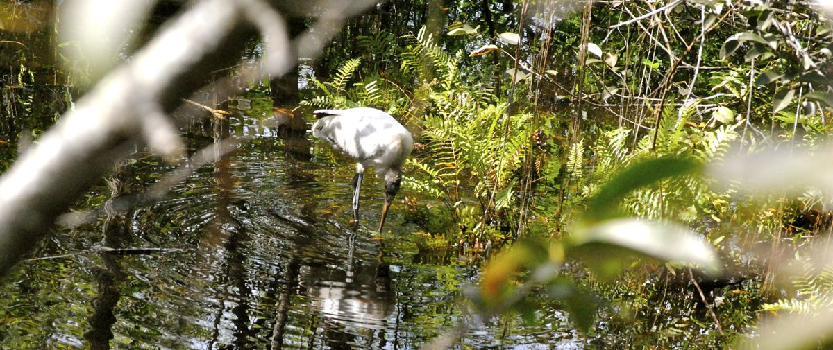 wood stork in water
