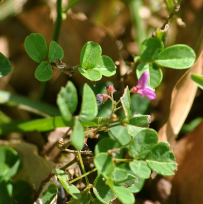 Threeflower Trefoil
