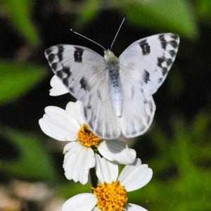 white checkered butterfly
