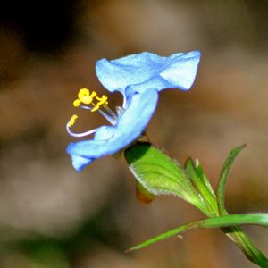 white mouth dayflower