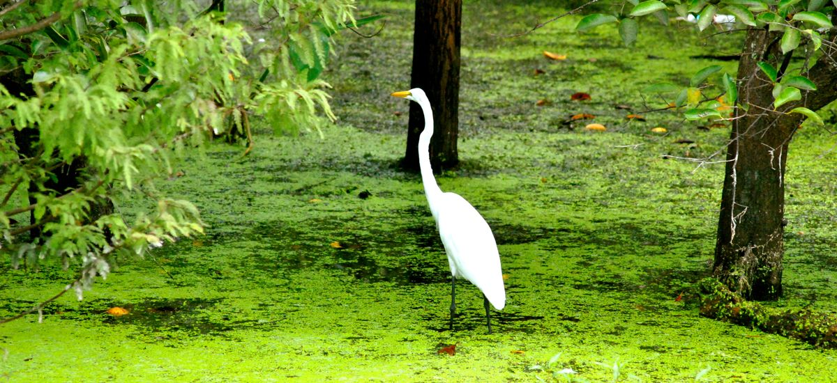 egret at daggerwing nature center