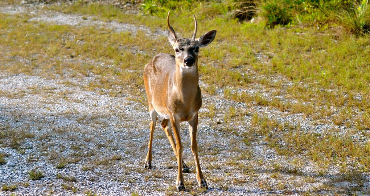 key deer male