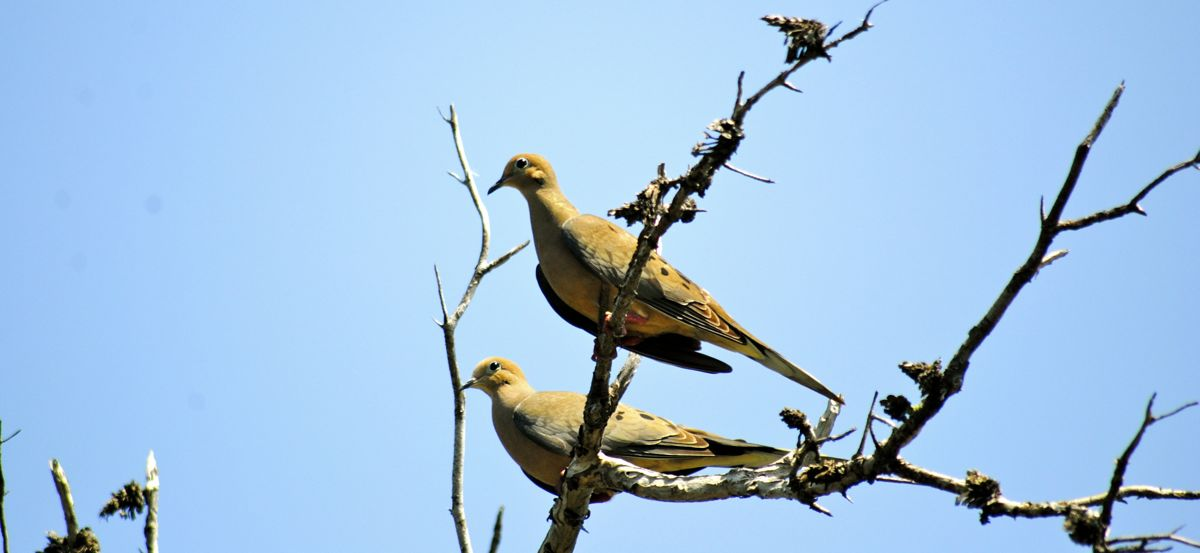 2 mourning doves