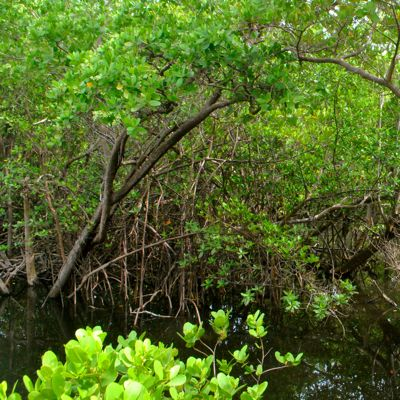 red mangrove thicket