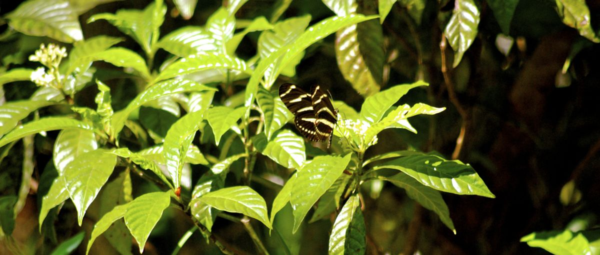 wild coffee and zebra longwing