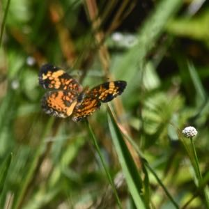 phaon butterfly