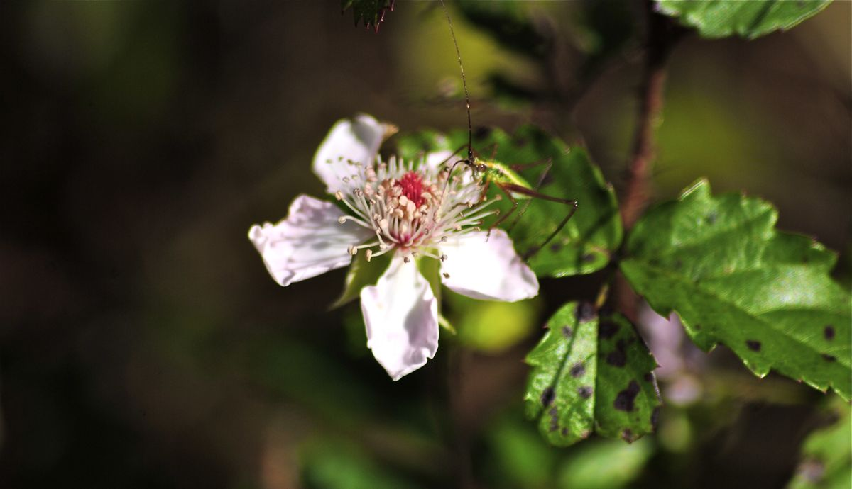 southern dewberry