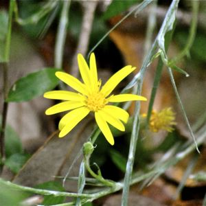 yellow slikgrass flower
