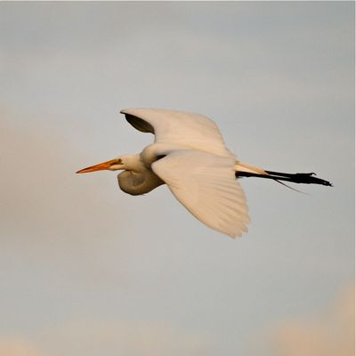 great whie egret