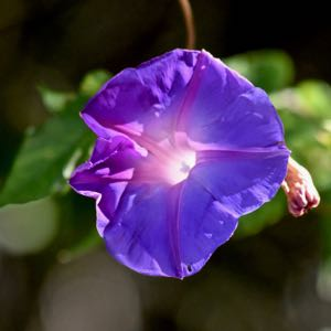 oceanblue morningglory