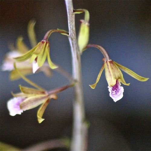 chinese crown orchid