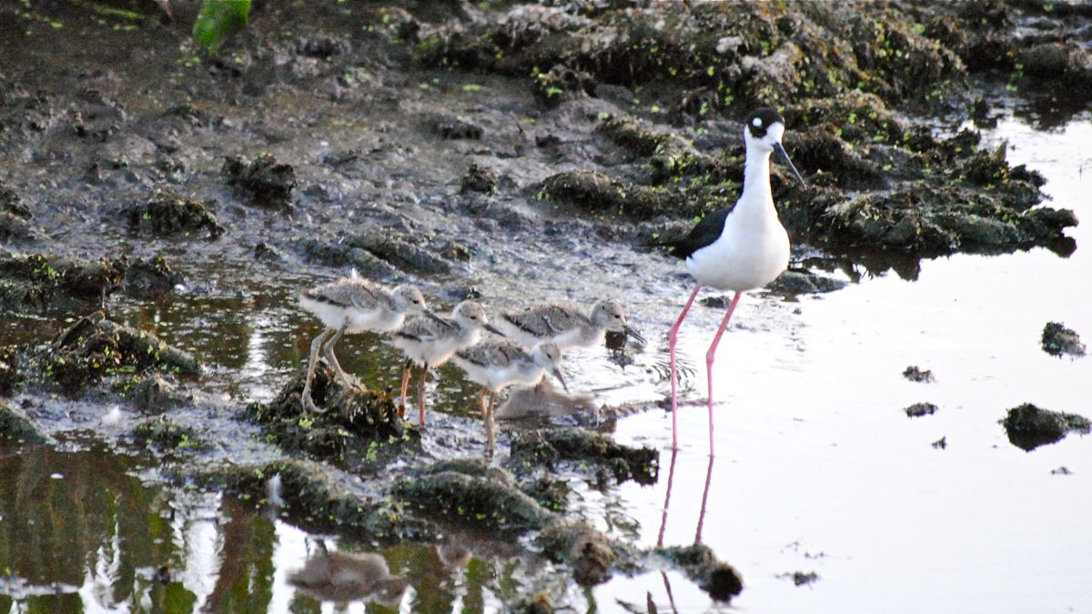 black-neck stilt family