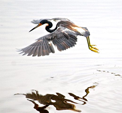 tricolored heron dancing