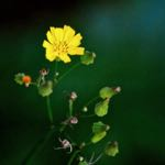 asian false hawksbeard