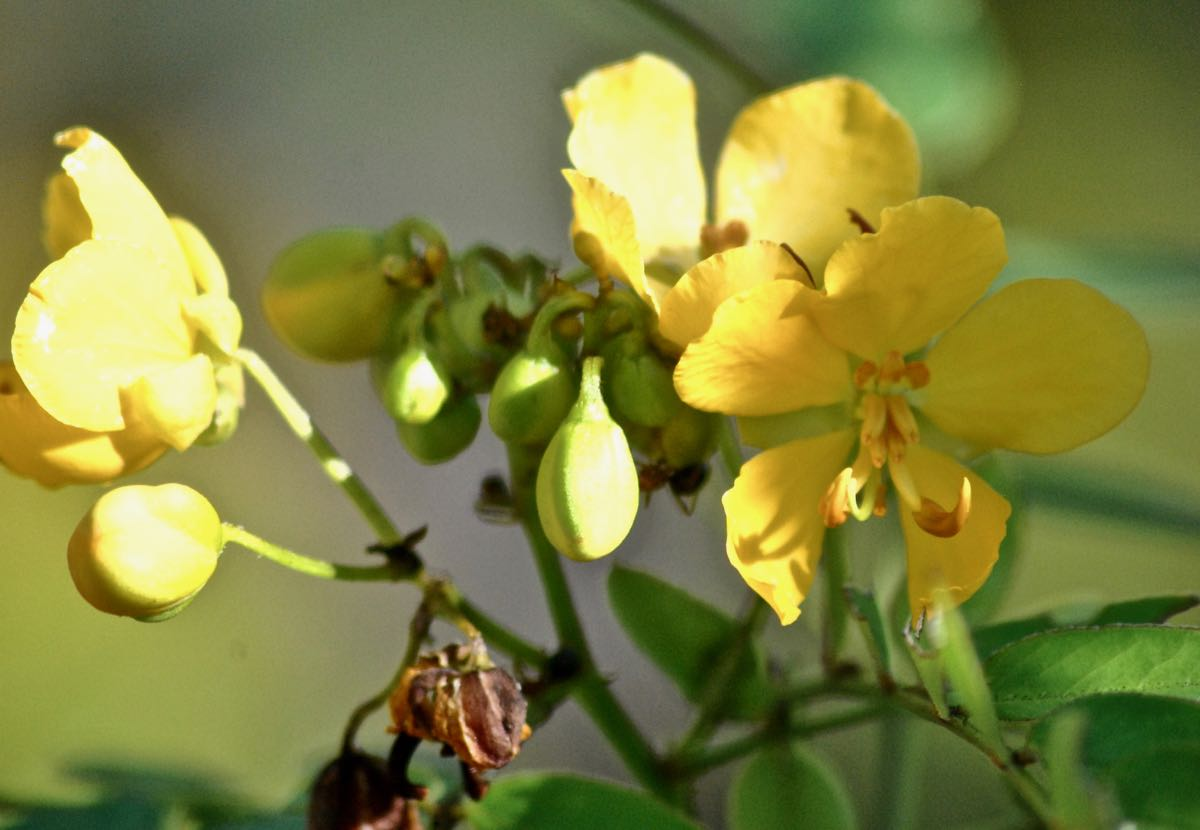 big pine partridge pea