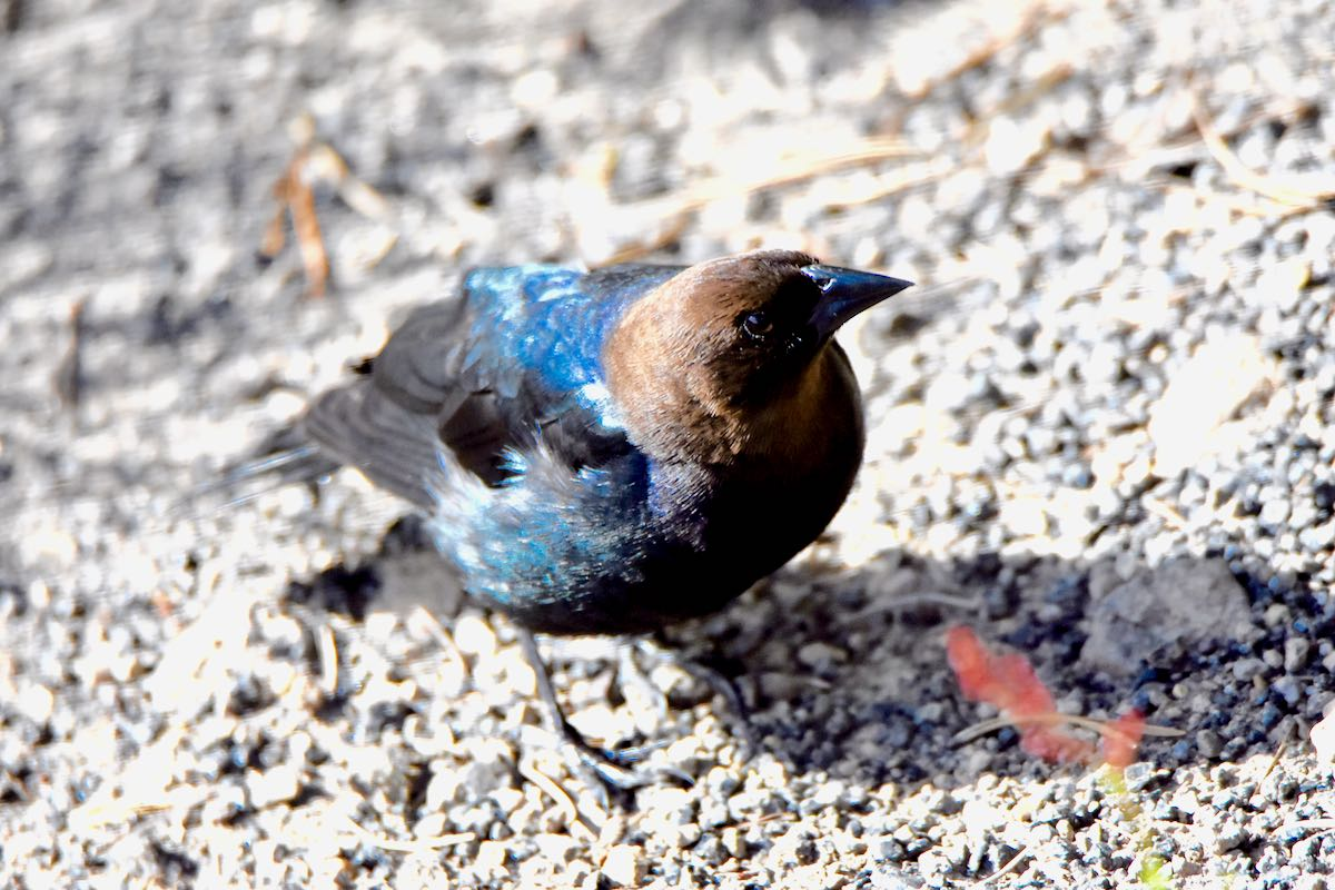 bronzed-headed cowbird