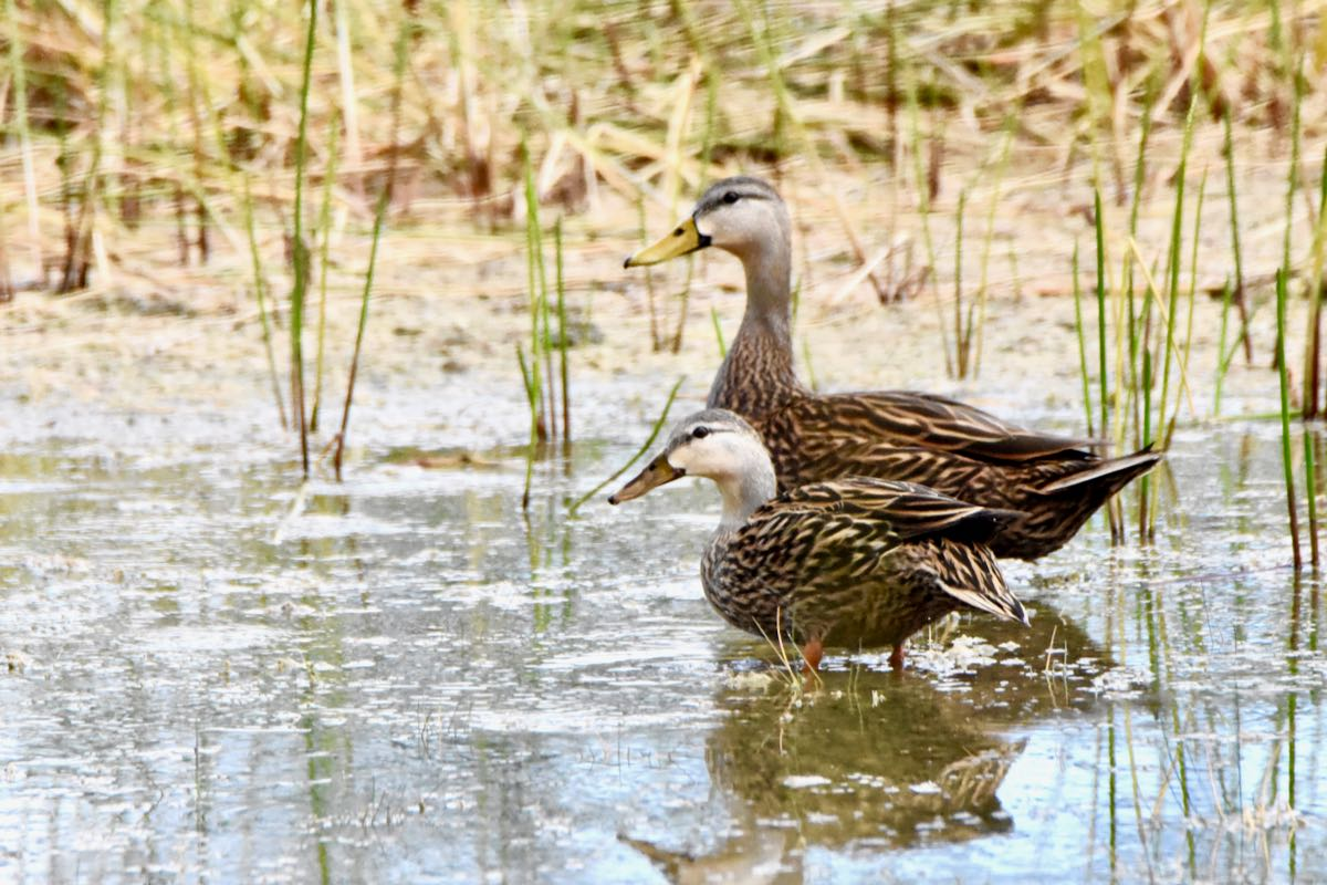 mottled ducks cypress creek natural area