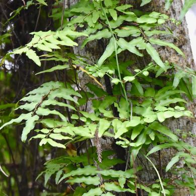 old world climbing fern