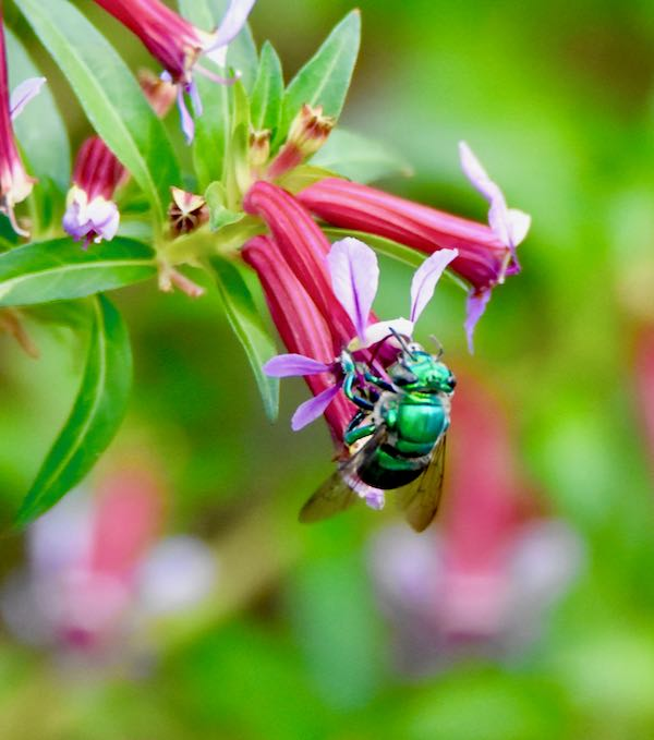 greeen orchid bee