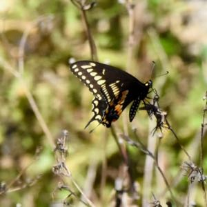 palomedes swallowtail