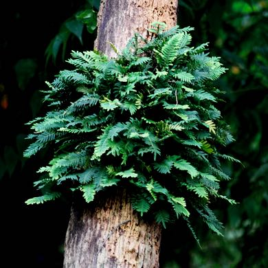 ressurrection fern