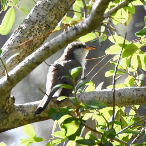 yellow-billed cuckcoo