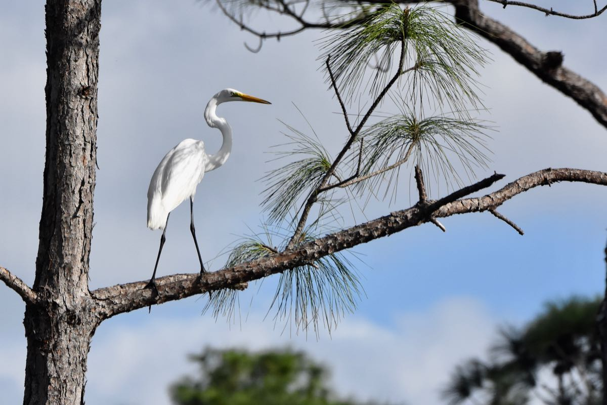egret in tree