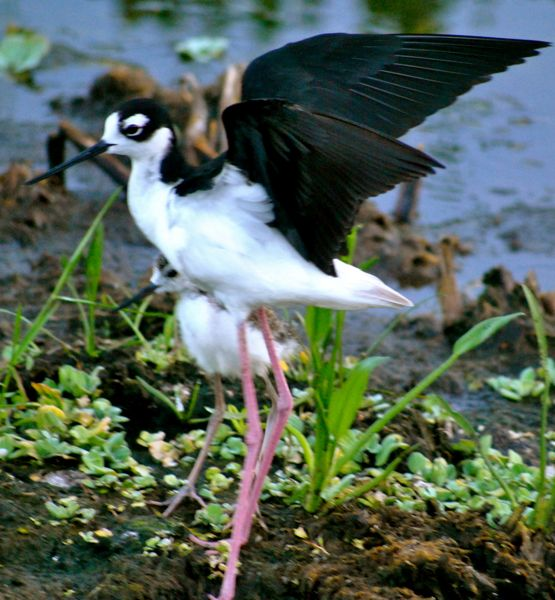 adult stilt and chick